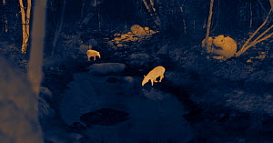 Thermal image of two Baird's tapir (Tapirus bairdii) at forest waterhole at night. Santa Rosa National Park, Costa Rica. Image taken at night with no artificial light, on location for National Geograp...  -  Martin Dohrn