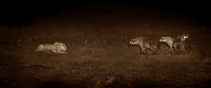 Three hyenas (Crocuta crocuta) approaching a resting lion (Panthera leo) at night. Topi Plain, Masai Mara, Kenya. Image taken using an infared camera with no artificial visible light, on location for...  -  Martin Dohrn