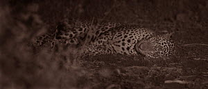 Leopard (Panthera pardus) resting at night. Yala National Park, Sri Lanka. Image taken with infared camera using no artificial light, on location for National Geographic Nightstalkers. *THIS IMAGE CAN...  -  Martin Dohrn