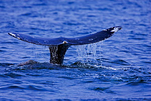 Tail fluke of a Grey Whale (Eschrichtius robustus) above the sea surface before the animal dives. 5 of a sequence of 7. Off Vancouver Island, Canada, June. - Matthew Maran
