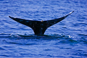 Tail fluke of a Grey Whale (Eschrichtius robustus) above the sea surface before the animal dives. 6 of a sequence of 7. Off Vancouver Island, Canada, June. - Matthew Maran