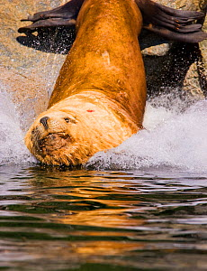 Steller's Sealion (Eumetopias jubata) male splashing into water. Barkley Sound, Vancouver Island, Canada, September.  -  Matthew Maran