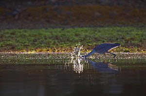 Great Blue Heron (Ardea herodias) fishing by quickly darting its head into water. Barkley Sound, Vancouver Island, Canada, August. - Matthew Maran