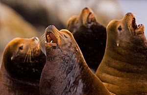A group of California Sea Lion (Zalophus californianus) raising their heads and barking. Barkley Sound, Vancouver Island, Canada, September. Not available for ringtone/wallpaper use. - Matthew Maran