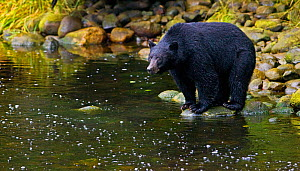 Black Bear (Ursus americanus) hunting for salmon from a river bank. Ucluth Inlet, Barkley Sound, Vancouver Island, Canada, September. - Matthew Maran