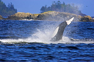 Transient Killer Whale / Orca (Orcinus orca) hunting sea lions. Barkley Sound, Vancouver Island, Canada, September. - Matthew Maran