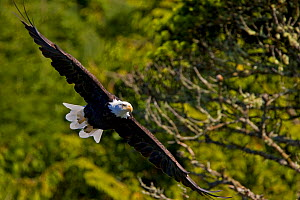An American Bald Eagle (Haliaeetus leucocephalus) in flight. Vancouver Island, Canada, October. - Matthew Maran