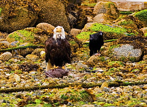 An American Bald Eagle (Haliaeetus leucocephalus) with remains of fish prey while a crow waits for scraps. Ucluelet, Vancouver Island, Canada, June. - Matthew Maran