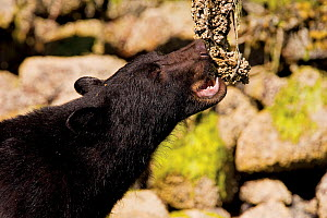 Black Bear (Ursus americanus) eating barnacles from a dead tree. Clayoquot Sound, Vancouver Island, Canada, June.  -  Matthew Maran