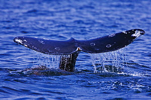 Tail fluke of a Grey Whale (Eschrichtius robustus) above the sea surface before the animal dives. 3 of a sequence of 7. Off Vancouver Island, Canada, June. - Matthew Maran