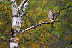 Eurasian Sparrowhawk (Accipiter nisus) perching in a Birch tree. Bieszczady, Carpathian Mountains, Poland, September. - Wild Wonders of Europe / Lesniewski