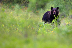 Wild Brown Bear (Ursus arctos) in mountain meadow. Bieszczady, Carpathian Mountains, Poland, May. - Wild Wonders of Europe / Lesniewski