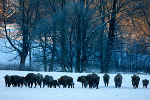Herd of Wisent / European bison (Bison bonasus) in snow. Bieszczady, Carpathian Mountains, Poland, January 2010.  -  Wild Wonders of Europe / Lesniewski