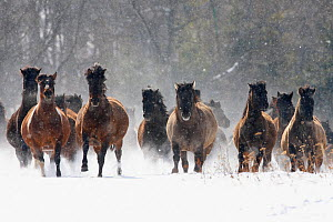 Herd of wild Carpathian Ponies / Hurcul (Equus caballus) in snow. Bieszczady, Carpathian Mountains, Poland, March. - Wild Wonders of Europe / Lesniewski