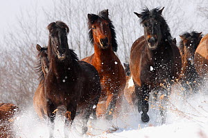 Herd of wild Carpathian Ponies / Hurcul (Equus caballus) running in snow. Bieszczady, Carpathian Mountains, Poland, March. - Wild Wonders of Europe / Lesniewski