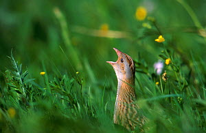 Corncrake (Crex crex) calling in grassland. Bieszczady, Carpathian Mountains, Poland.  -  Wild Wonders of Europe / Lesniewski