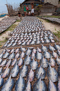 Freshly caught fish laid out under the sun to dry for easier storage. Filipinos traditionally eat fried dried fish and rice everyday. Dried fish needs no refrigeration and can last a long time. Philip... - Jurgen Freund