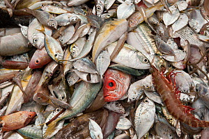 Assorted fish and a crustacean brought up by a trawler. Most are 'trash fish', small in size, with low consumer preference and little or no commercial value. They are sometimes retained for use as ani...  -  Jurgen Freund