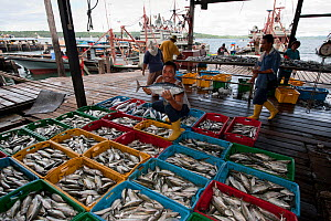 Crates of fish caught by local trawlers and purse seiners. Malaysia, June 2009. - Jurgen Freund