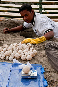 Leatherback turtle (Dermochelys coriacea) eggs dug out of badly located nests being weighed and measured before relocation to a hatchery constructed by WWF. This is done by State Universiti of Papua (...  -  Jurgen Freund