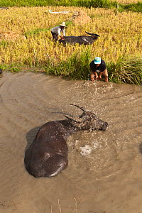Water buffalo (Bubalus bubalis) soaking to cool down from the summer heat. Water buffalo are brought to these watering holes three times a day when the farmers harvest rice. Sablayan, Philippines, Mar... - Jurgen Freund