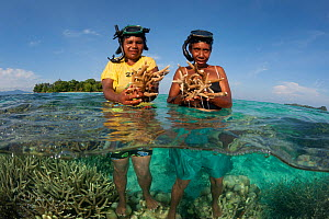 People harvesting coral to make lime for betelnut chewing. These branching staghorn corals (Acropora) are amongst the fastest growing corals at about 10 cm/year. M'Buke Island, New Ireland, Papua New...  -  Jurgen Freund
