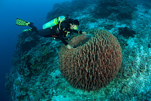 Massive barrel sponge (Xestospongia testudinaria) and diver. Tubbataha Reef National Marine Park, Palawan, Philippines, April 2009. Model released.  -  Jurgen Freund