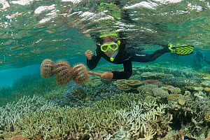Crown-of-thorns starfish (Acanthaster planci)  collected by a snorkeler. Tubbataha Reef rangers collect thousands of these invasive animals which have spread in the lagoon in epidemic proportions. Tub... - Jurgen Freund