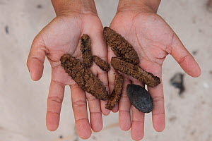 Sea cucumbers (Holothuroidea) or beche-de-mer gathered from daily gleaning activities undergoing the drying process. Coastal communities are the main supplier of this high value Chinese delicacy. Gree...  -  Jurgen Freund