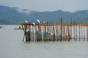 Fish coral (baklad) stationary fish traps that litter Malampaya Sound. They are made of bamboo, split bamboo mattings or wire nettings. They are easy to enter and hard to exit, direct the fish to the... - Jurgen Freund