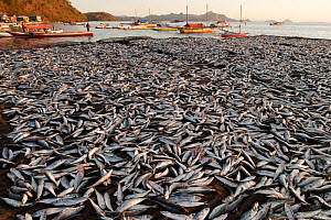 Large catch of Mackerel scads (Decapterus macarellus) spread out to dry in the sun, Indonesia, August 2009  -  Jurgen Freund