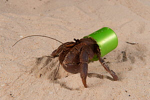 Land Hermit crab using a plastic bottle cap as its home. Kavieng, Papua New Guinea, June 2010  -  Jurgen Freund