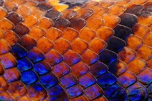 Close up of skin of Rainbow boa (Epicrates cenchria cenchria) captive, from French Guiana  -  Daniel Heuclin