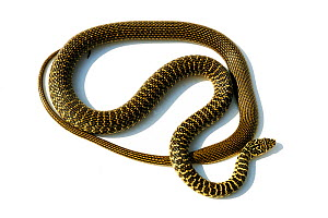 Green / Western whipsnake (Hierophis / Coluber viridiflavus) Poitou, France, controlled conditions - Daniel Heuclin