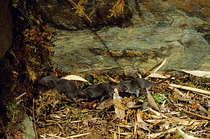 Greater white toothed shrews (Crocidura russula) following each other in line, France  -  Daniel Heuclin