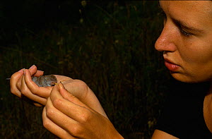 Scientist feeding a recently captured Greater white toothed shrew (Crocidura russula) Aude, France  -  Daniel Heuclin