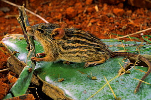 Barbary Striped Grass Mouse / Zebra Mouse (Lemniscomys barbarus) feeding on cactus leaf, captive, from Africa - Daniel Heuclin