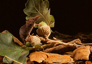 White-toothed pygmy / Etruscan shrew (Suncus etruscus) on acorns, Aude, France, controlled conditions, The smallest known mammal (weighing about 2g)  -  Daniel Heuclin