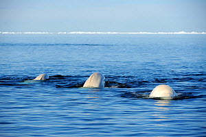 Three Beluga / White Whale (Delphinapterus leucas) swimming at the sea surface during spring migration. Baffin Island, Lancaster sound, Nunavut, Canada, June.  -  Eric Baccega