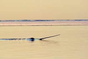 Narwhal (Monodon monoceros) showing tusk above water surface. Baffin Island, Nunavut, Canada, April.  -  Eric Baccega