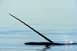 Narwhal (Monodon monoceros) showing tusk above water surface. Baffin Island, Nunavut, Canada, June. - Eric Baccega