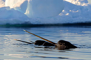 Narwhal (Monodon monoceros) showing tusks above water surface. Baffin Island, Nunavut, Canada, June.  -  Eric Baccega