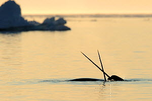 Narwhal (Monodon monoceros) crossing tusks above water surface. Baffin Island, Nunavut, Canada, April.  -  Eric Baccega