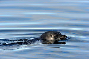 Ringed Seal (Pusa hispida) at the sea surface. Baffin Island, Nunavut, Canada, April. - Eric Baccega