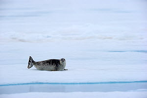 Ringed Seal (Pusa hispida) resting on ice. Baffin Island, Nunavut, Canada, April. - Eric Baccega