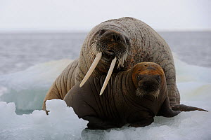 A female Walrus (Odobenus rosmarus) and her calf resting on ice. Foxe Basin, Nunavut, Canada, July. - Eric Baccega