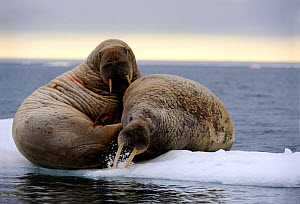 Two Walrus (Odobenus rosmarus) resting on ice. The behaviour of stabbing at the ice may be a warning display. Foxe Basin, Nunavut, Canada, July. - Eric Baccega