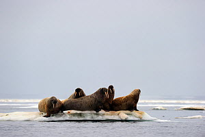 Group of Walrus (Odobenus rosmarus) resting on a small and crowded float of ice. Foxe Basin, Nunavut, Canada, July.  -  Eric Baccega