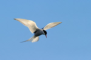 Arctic Tern (Sterna paradisaea) in hovering flight with sunlight shimming from its wing feathers. Foxe Basin, Nunavut, Canada, July. - Eric Baccega