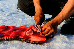 Inuit man cutting a piece of Narwhal (Monodon monoceros) skin and fat (muktuk), traditional food in Inuit culture. Floe edge, Arctic Bay, Nunavut, Canada, June. - Eric Baccega